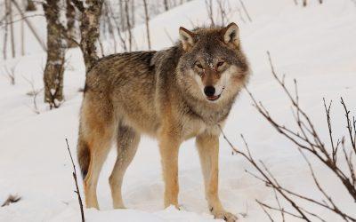 Intertrigo, der Hautwolf – ein unangenehmer Vierbeiner